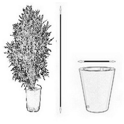 Pozostałe rośliny i hodowla, Chamedora Wytworna drzewko