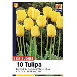 Tulipany Golden Apeldorn